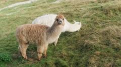 Cute alpacas portrait Stock Footage