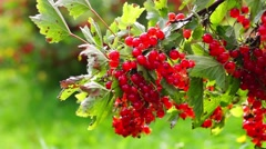 Stock Video Footage of Bush of red currant berries