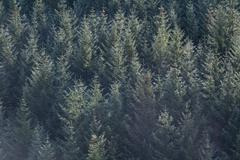 Conifer trees in autumn fall morning light. Stock Photos