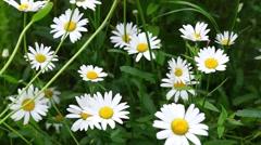 Daisy flowers in breezy day - stock footage
