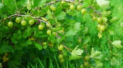 Gooseberry bush Stock Footage