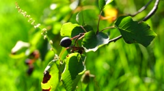 Saskatoon berry brunch in sunny summer day Stock Footage