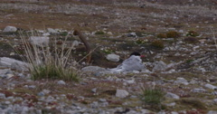 Dolly of Arctic Tern on Nest Next to Rusty Iron Post Stock Footage