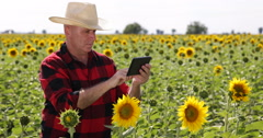 Farmer Planning Harvest Time Sunflower Agricultural Field Agronomy Production - stock footage