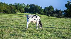 Holstein cows in sunset at a meadow Stock Photos