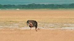 Ostrich, Amboseli park, Kenya Stock Footage