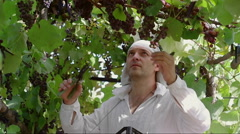 The man carefully picking grapes and puts it in a box Stock Footage