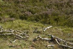 Luneburg Heath - Rotten brunches and heath near Egestorf Stock Photos