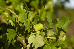 Luneburg Heath - Acorns at an oak tree Stock Photos