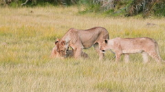 Lionesses, Kenya Stock Footage