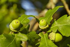 Luneburg Heath - Acorns at an oak tree - stock photo