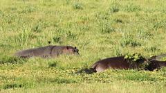 Hippopotamus in Amboseli Park, Kenya Stock Footage