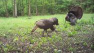 Stock Video Footage of Wild Turkey Flock