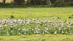 Flock of European storks, Amboseli Park, Kenya Stock Footage