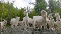 Kashmir goats portrait Stock Footage