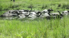 Sliding Shot of Antelope in a Pond Stock Footage