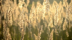 Dry fluffy grass with the sun shining closeup Stock Footage