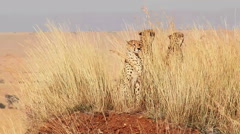 Male cheetahs in Masai Mara - stock footage