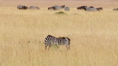 Baby zebra, Masai Mara Stock Footage