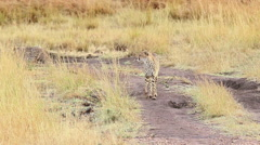 Two male cheetahs in Masai Mara Stock Footage