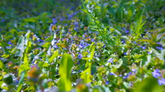 Green grass and lilac flowers in the bright spring sunshine. - stock footage