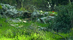 Stock Video Footage of Video of windy Carmel mountain forest shot in Israel.