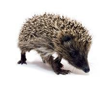 Going hedgehog - stock photo