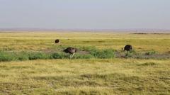 Ostriches, Amboseli park, Kenya Stock Footage