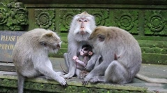 Monkey family at sacred monkey forest. Ubud, Bali, Indonesia Stock Footage