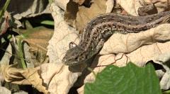 4K Brown lizard drag dry leaf forest ground iguana fauna habitat wildlife wild  Stock Footage