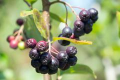 A bunch of black chokeberry (aronia). - stock photo