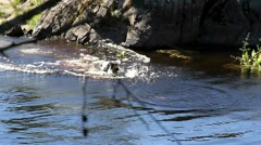 Dog Spaniel swimming in a stick. Stock Footage
