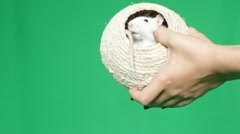 Pet rat on human hand on green screen Stock Footage