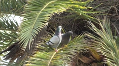 4K Happy dove couple rest palm tree green leaf tropical park fly pigeon bird day Stock Footage