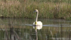 tagged Mute Swan Swimming in the wild - stock footage