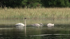 Adult Mute Swan with two Young feeding in wild - stock footage