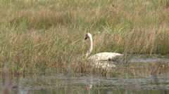 Tagged Mute Swan Swimming through Tall Grass in Marsh - stock footage