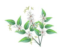 Stock Illustration of Night Blooming Jasmine on A White Background