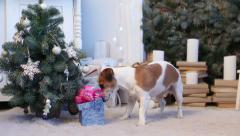 Christmas present surprise for a pet - stock footage