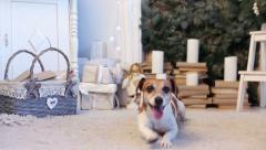 Cute dog, Christmas holiday interior Stock Footage