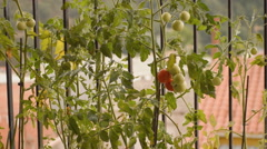 Red Tomato On The Bush - stock footage