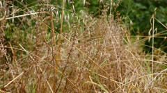 The old dry grass growing in the field Stock Footage