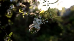 Peaceful Blossoming Trees in Springtime Trees with Lens Flare, Aerial Jib Crane Stock Footage