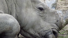 White rhino head shot Stock Footage