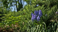Muscari flowers on flower bed at sunlight. Spring or summer natural background. Stock Footage