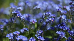 Forget-me-not flowers. Natural summer background. Stock Footage