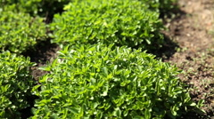 Thyme (Thýmus) bushes on flower bed at sunlight. - stock footage