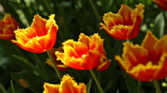 Natural background with different kinds of tulips. Stock Footage