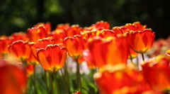 Colorful tulips on sunlight. Natural summer background. Stock Footage