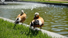 The ruddy shelduck cleans it's feathers on the bank of a pond. Stock Footage